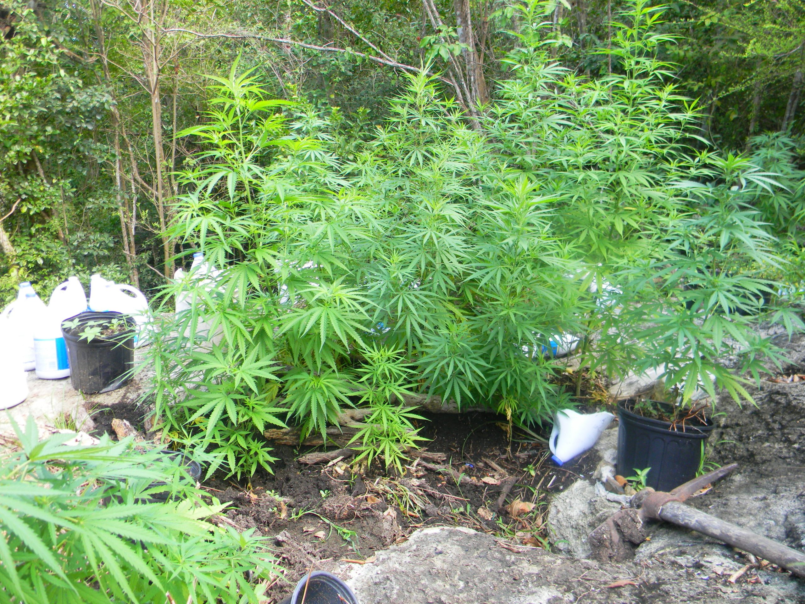 Caribbean Cannabis; Economic Revitalization