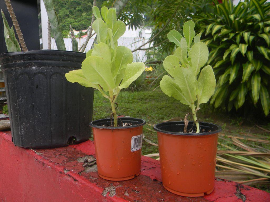 Seedling Source, Shado Beni