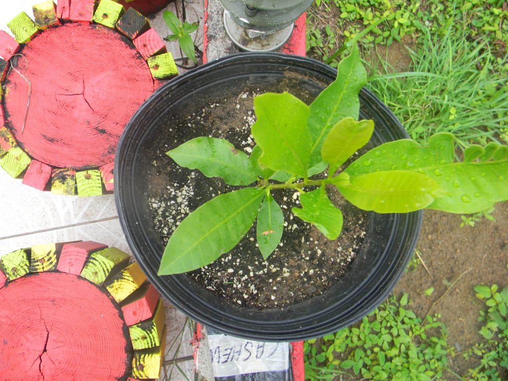 Seedling Source, Cashew