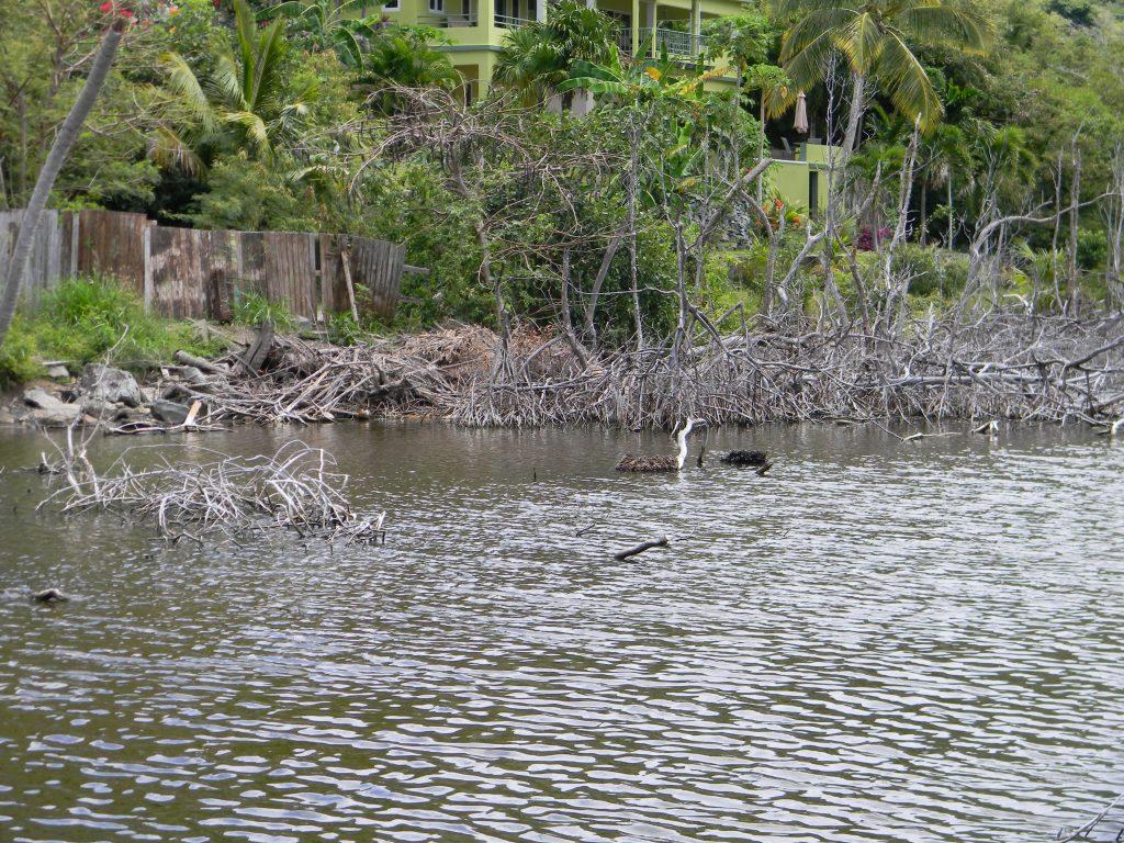 Mangrove Habitat, Cane Garden