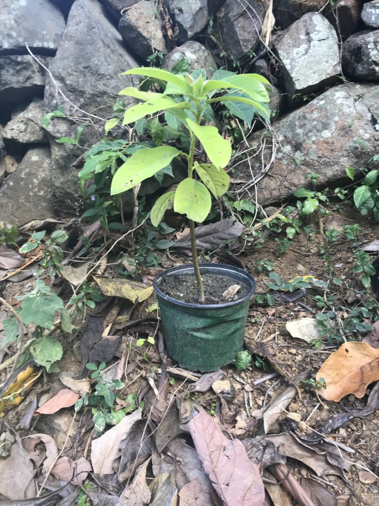 New Bush Avocado