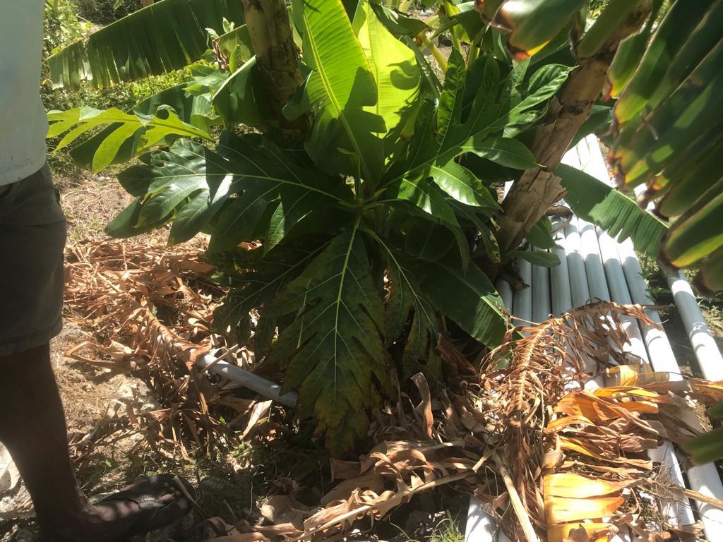 Breadfruit Seedling