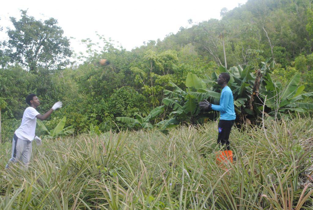 Pineapple Toss Harvest