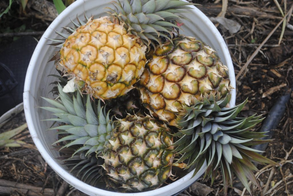 Virgin Islands Pine Bucket